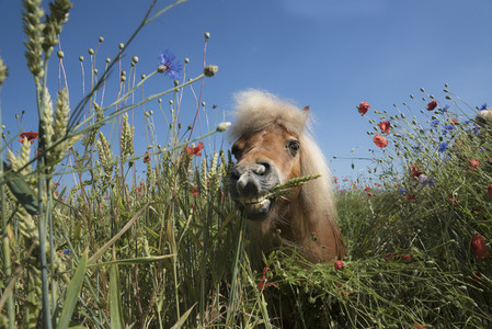 Portrait pony in sunny rural field with wildflowers