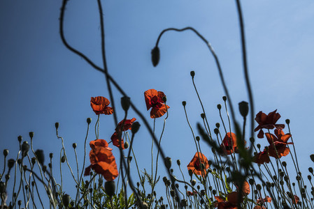 Red poppy flowers against sunny  summer sky