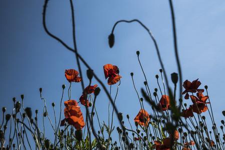Red poppy flowers against sunny summer sky