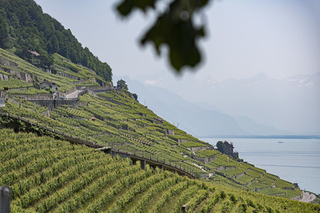 Sunny terraced vineyards with mountain and Lake Geneva view  Epesses  Vaud  Switzerland