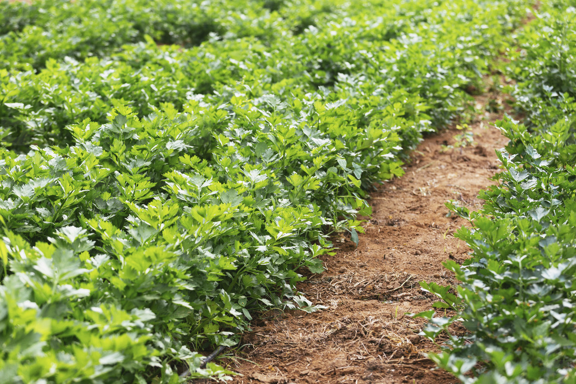 Vibrant green organic celery plants growing in vegetable garden 01