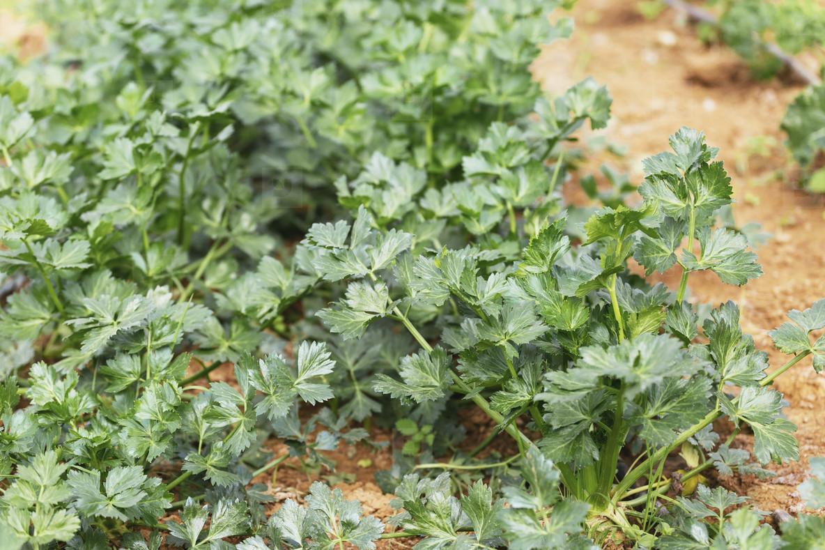 Vibrant green organic celery plants growing in vegetable garden 02