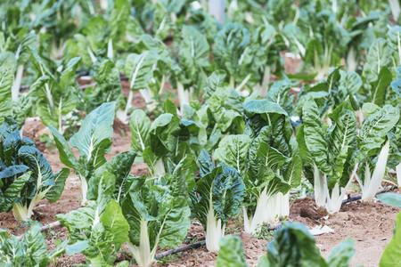 Vibrant green organic chard growing in vegetable garden