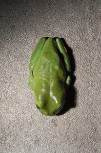 View from above green tree frog