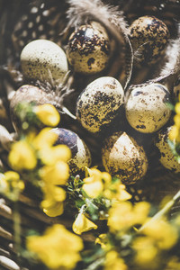 Easter holiday greeting card with quail eggs and yellow flowers