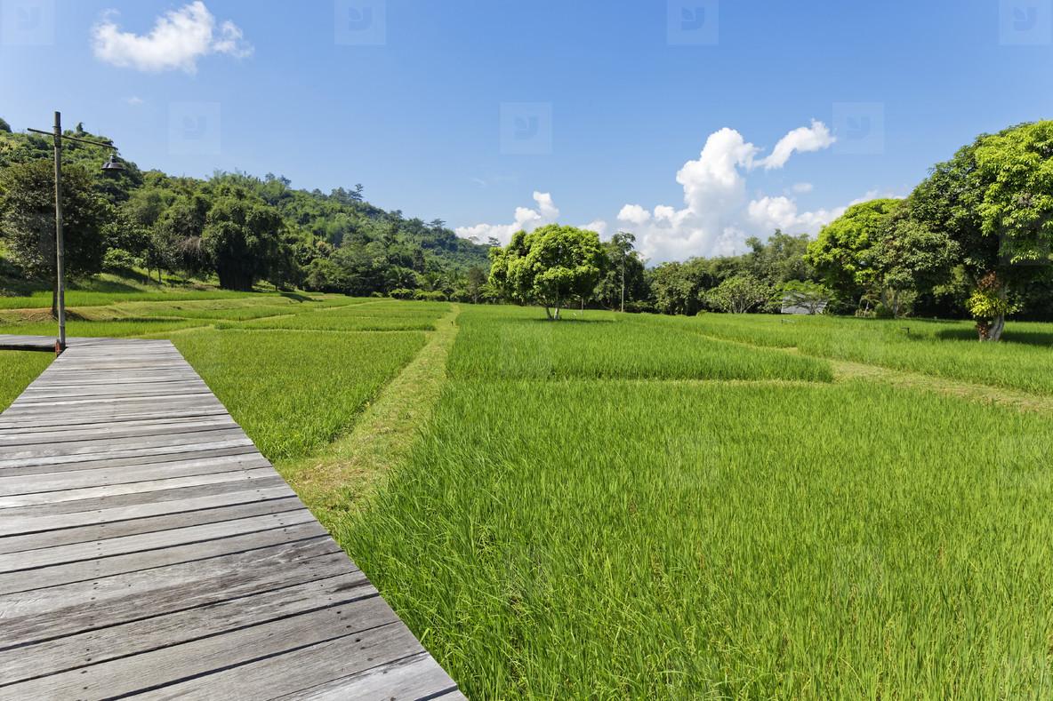 Rice Field Path 06