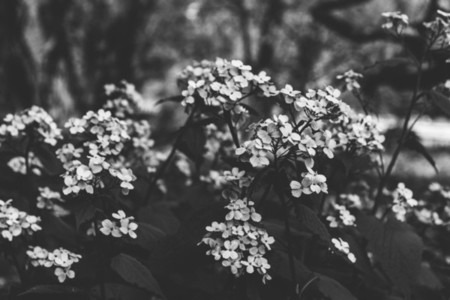 Forget me nots flower in a forest  Black and white photography