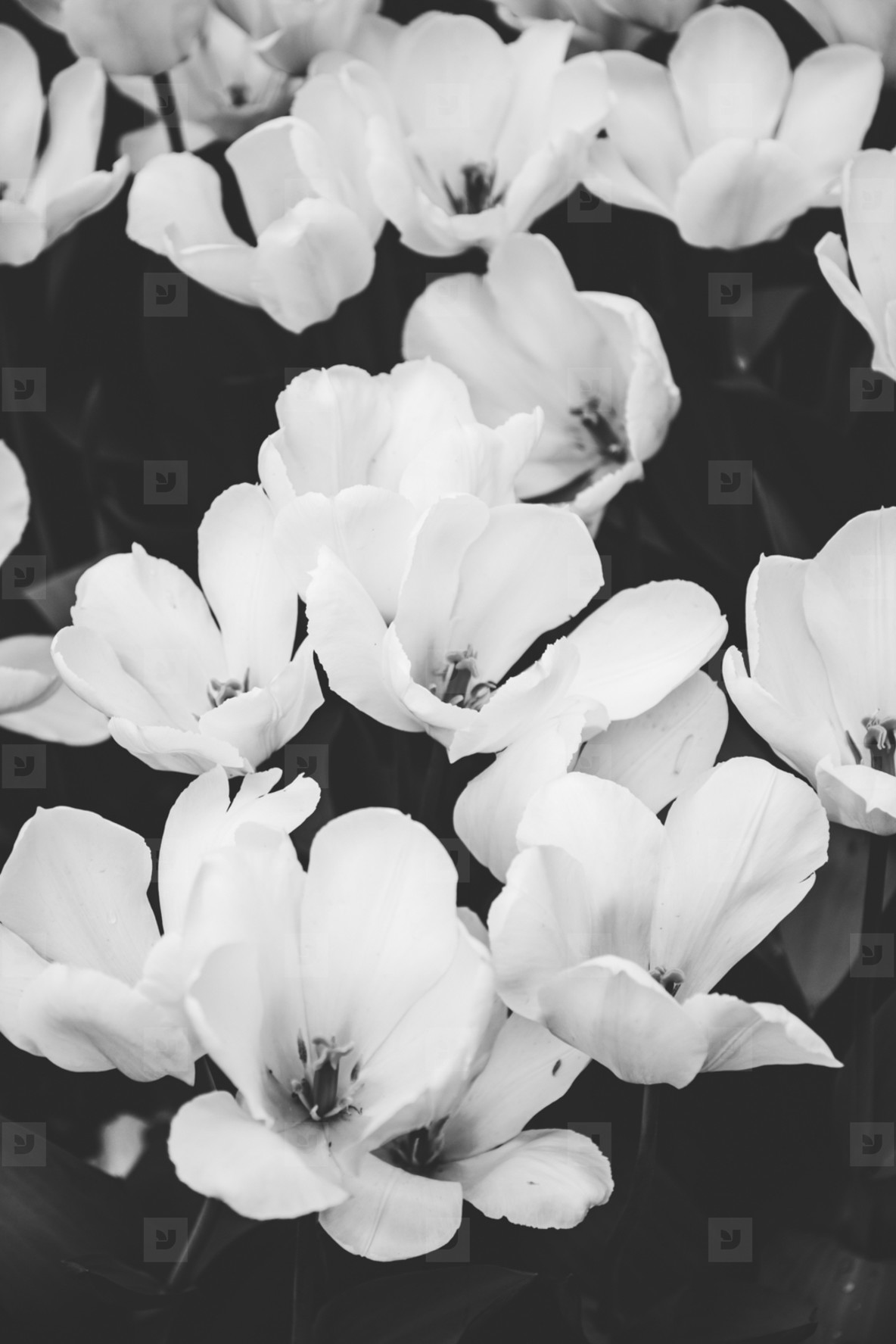 Beautiful white flowers on a summer meadow  Nature black and white photography