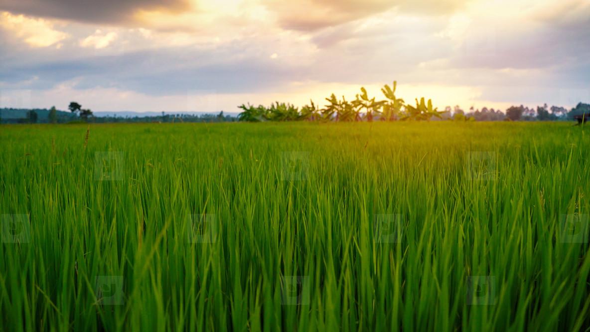 Beautiful paddy field rice