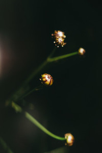 Coreopsis Buds