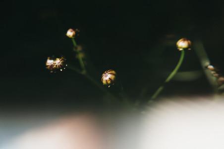 Budding Coreopsis
