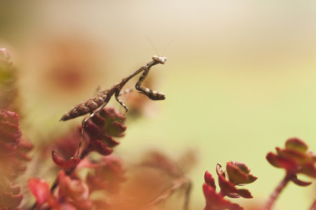Tiny Carolina Praying Mantis