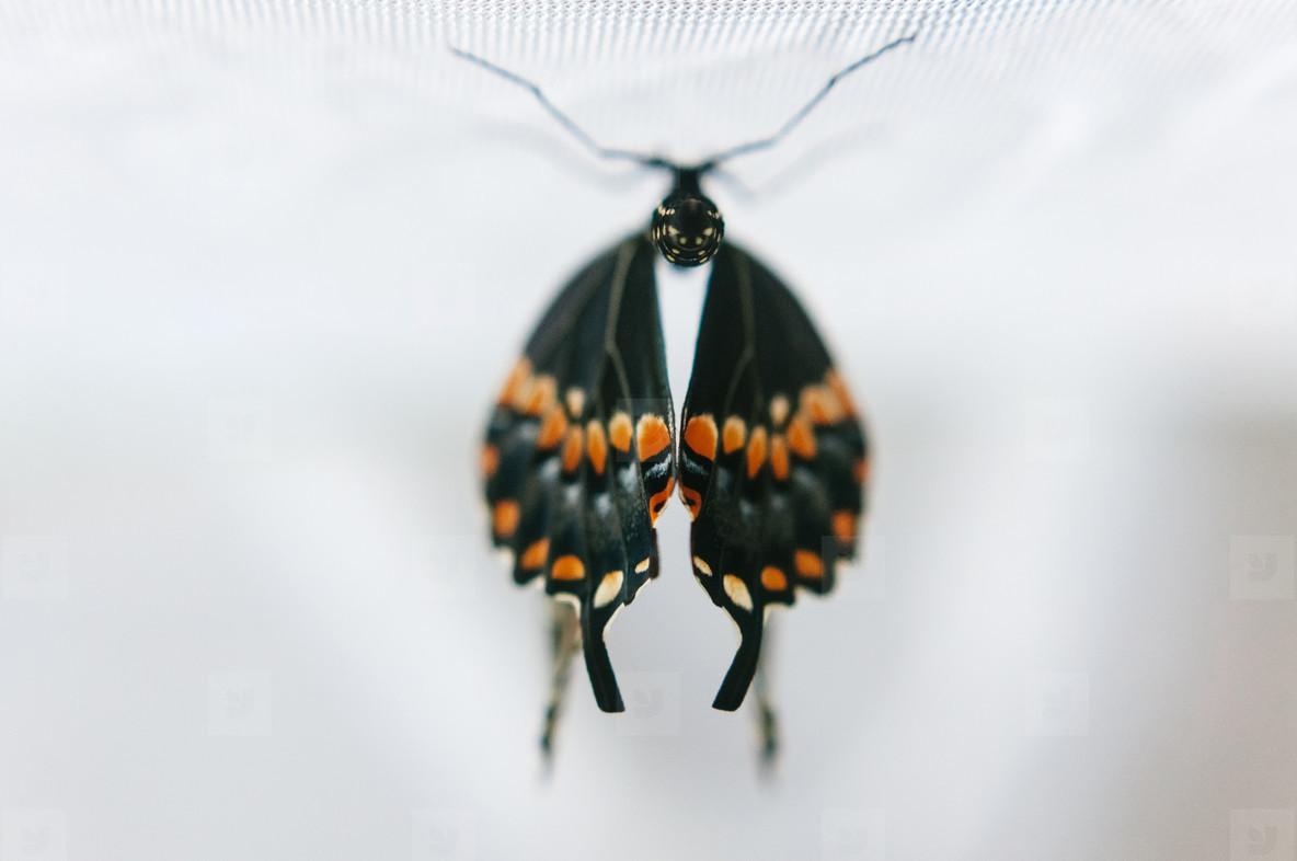 Eastern Black Swallowtail Wings