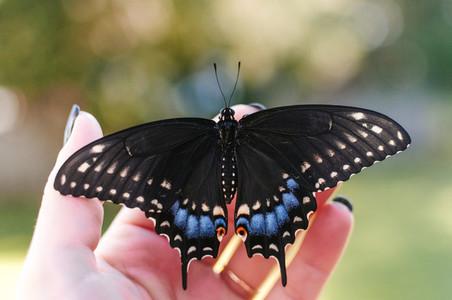 Female Eastern Black Swallowtail