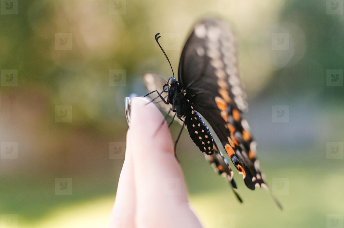 Black Swallowtail on Hand