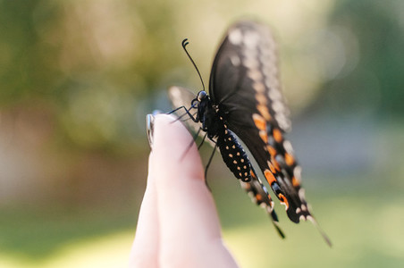 Black Swallowtail on Hand