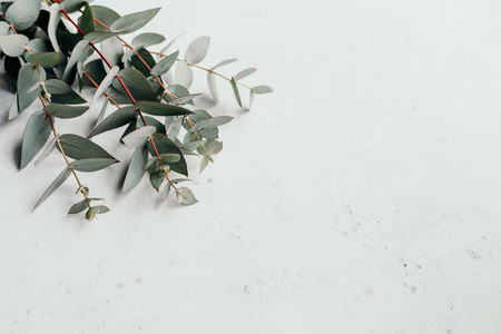 Eucalyptus branches on a white background with copy space