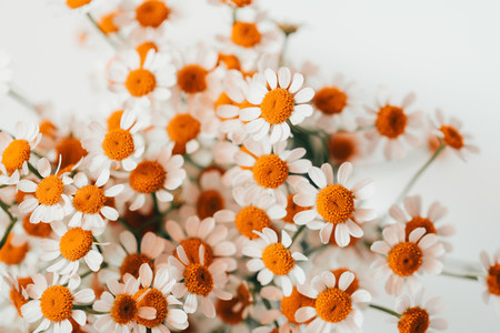 Little daisy flowers bouquet over white Summer or spring nature background Soft focus top view close up composition