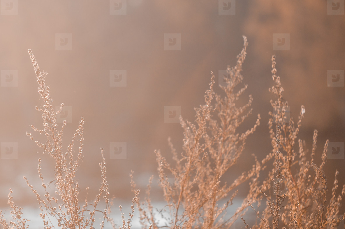 Close up shot of dried sagebrush against sunlight  Nature autumn background
