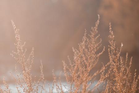 Close up shot of dried sagebrush against sunlight Nature autumn background