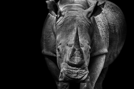 Rhino or Rhinoceros close up