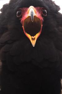Black Eagle close up