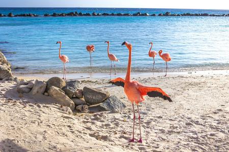 Pink Flamingo  Aruba Island