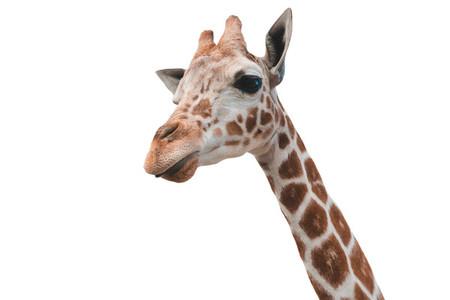 Giraffe 02