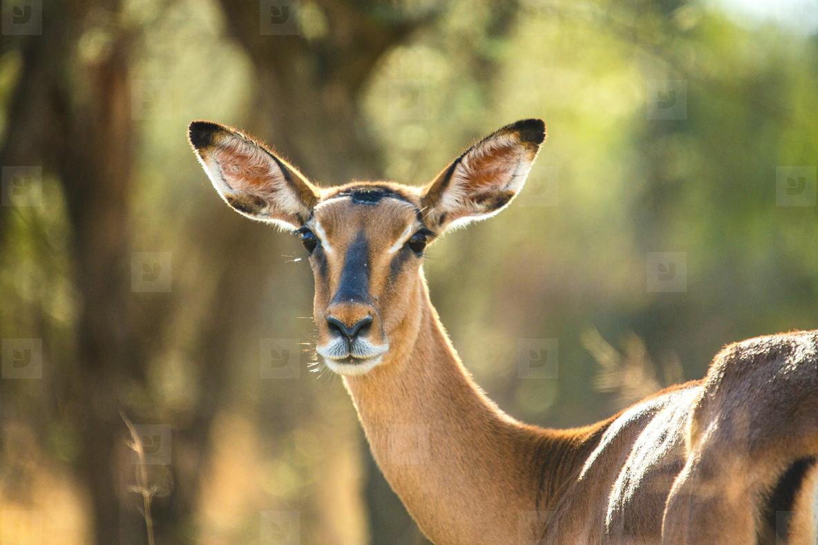 An alert Impala
