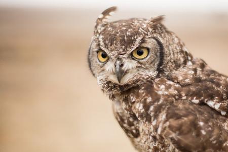 Buck Owl