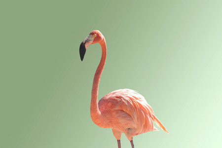 Flamingo 10