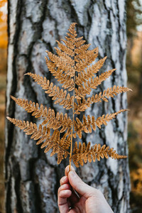 Mans hand holds a orange fern leave against birch trunk  Creative Autumn nature still life