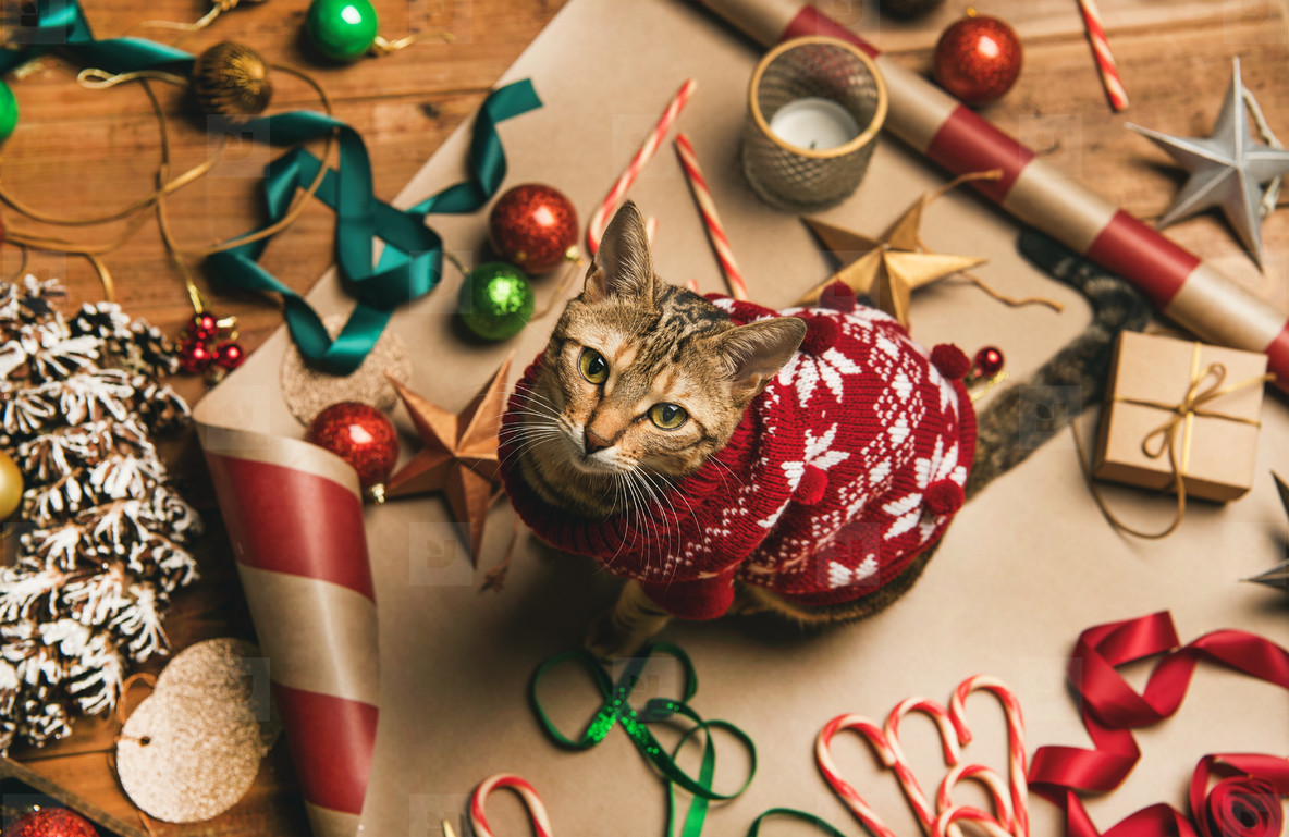 Flat lay of Christmas decorations and cat in red winter sweater