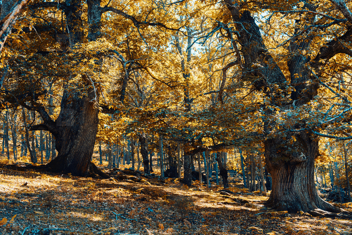 Ancient chestnuts in Spain forest with warm colors