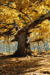 Ancient chestnut in Spain forest with warm colors
