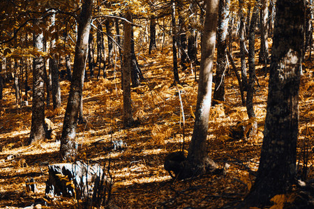 Autumn chestnut forest in Spain with warm colors and ferns