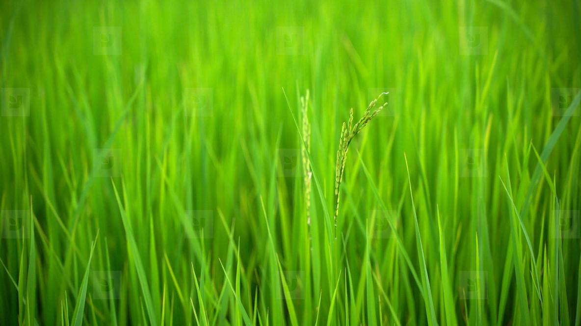 fresh green rice field nature