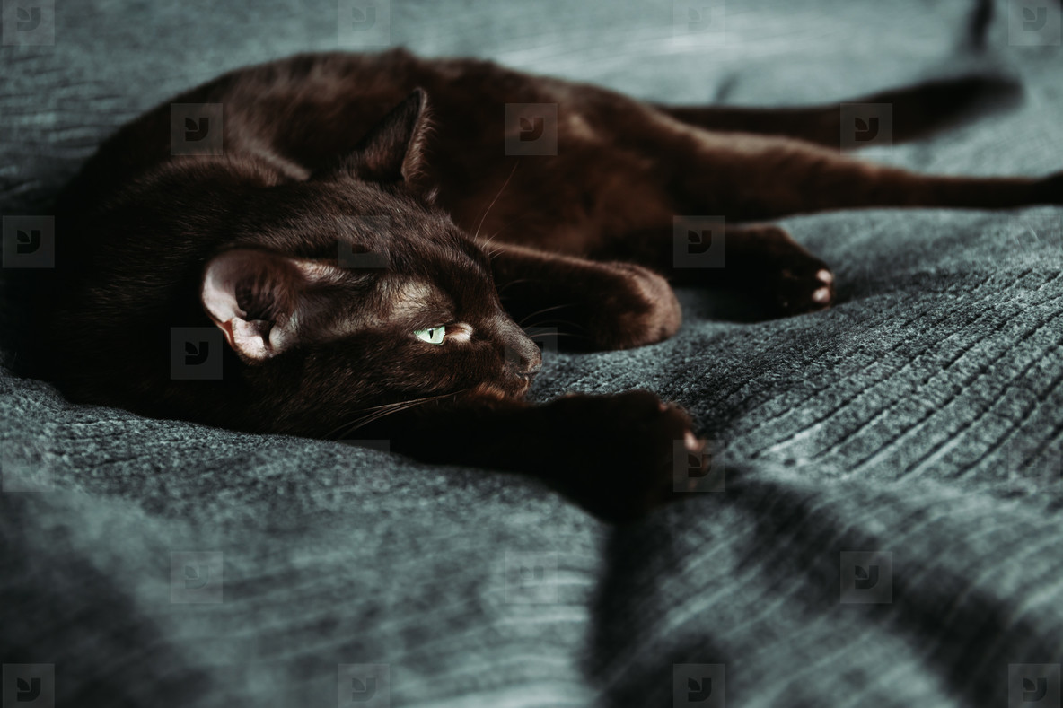 Brown oriental domestic cat lies on a grey bedcover