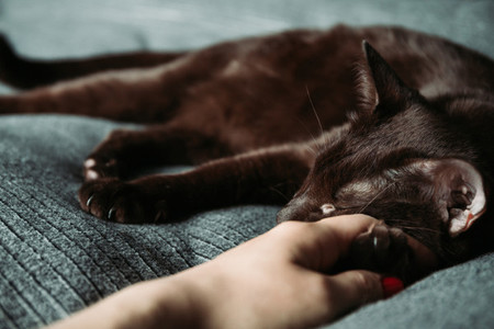 Sleepy brown oriental breed domestic cat lies on a womans hand