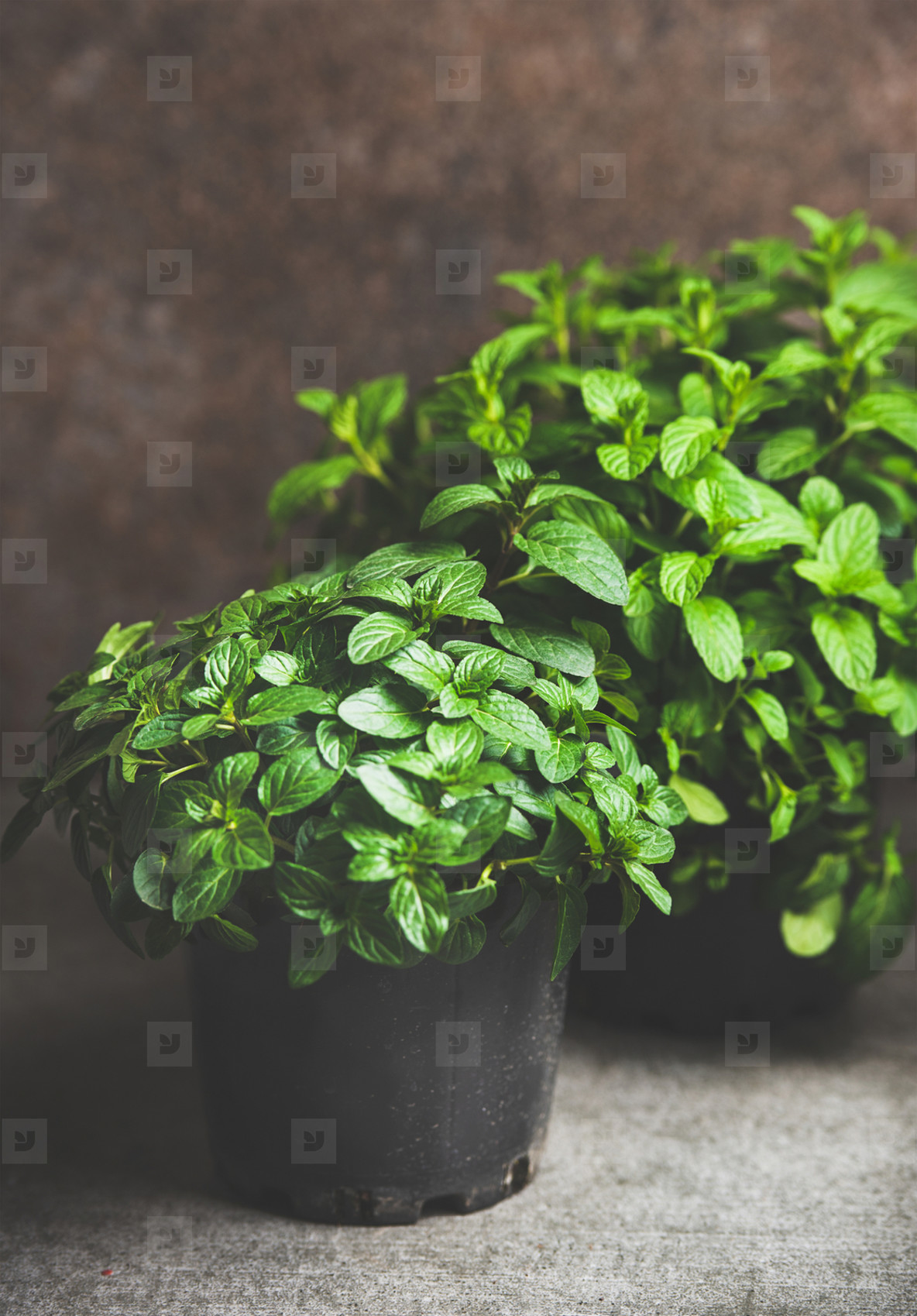 Fresh mint growing in pots over concrete table at home