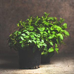 Fresh mint growing in pots copy space square crop