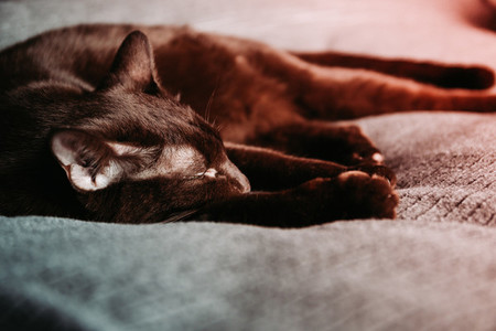 Brown oriental breed domestic cat lies on a grey bedcover