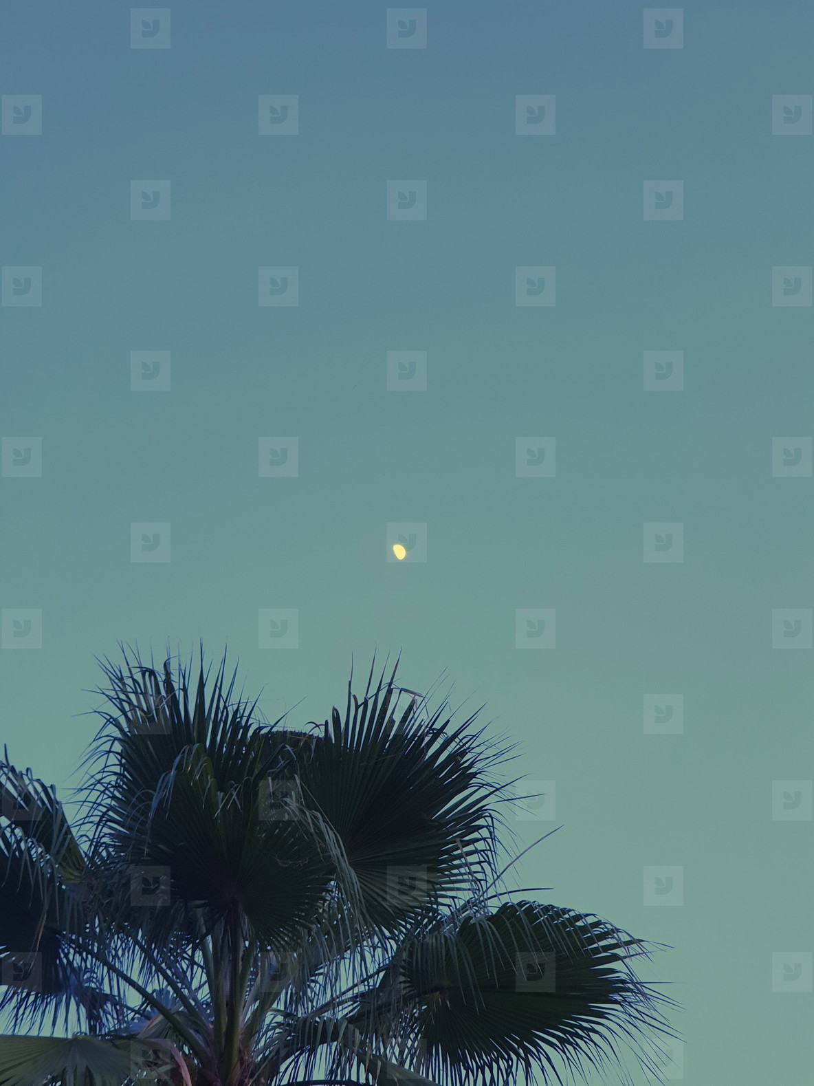 Palm tree on sky with the moon
