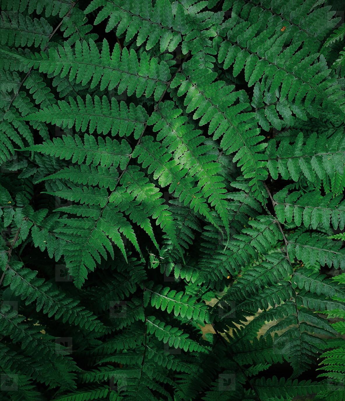 Natural green fern leaves
