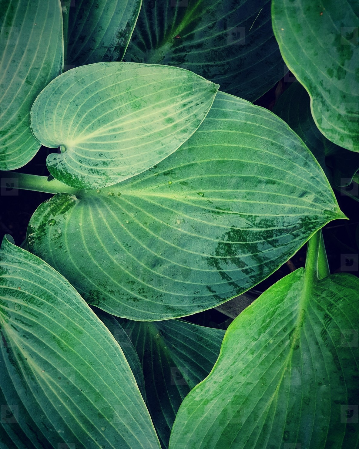 Green heart shaped leaves