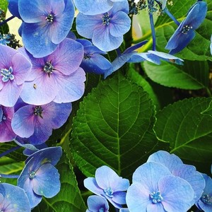 Hydrangea blossoms fresh blue