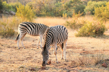 South African Zebra