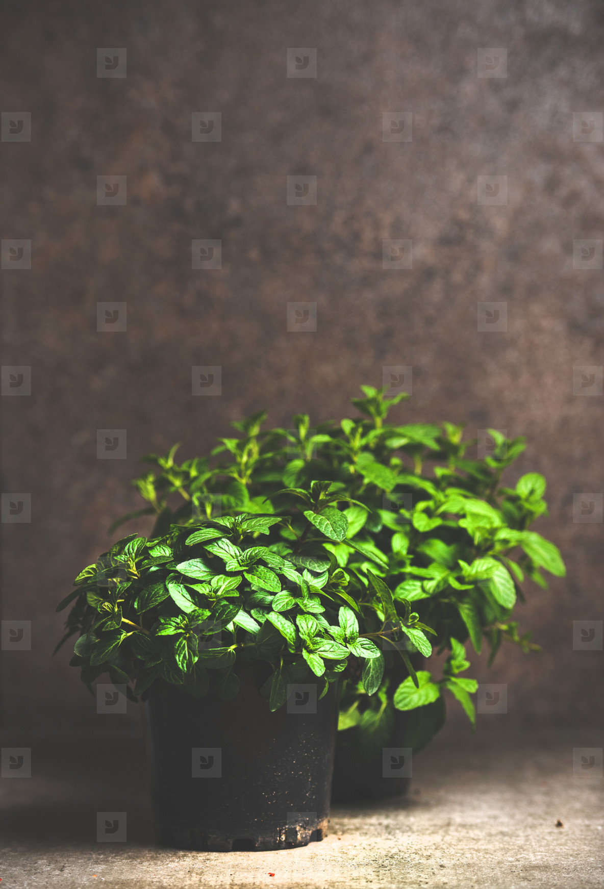 Fresh mint growing in pots over concrete table  copy space