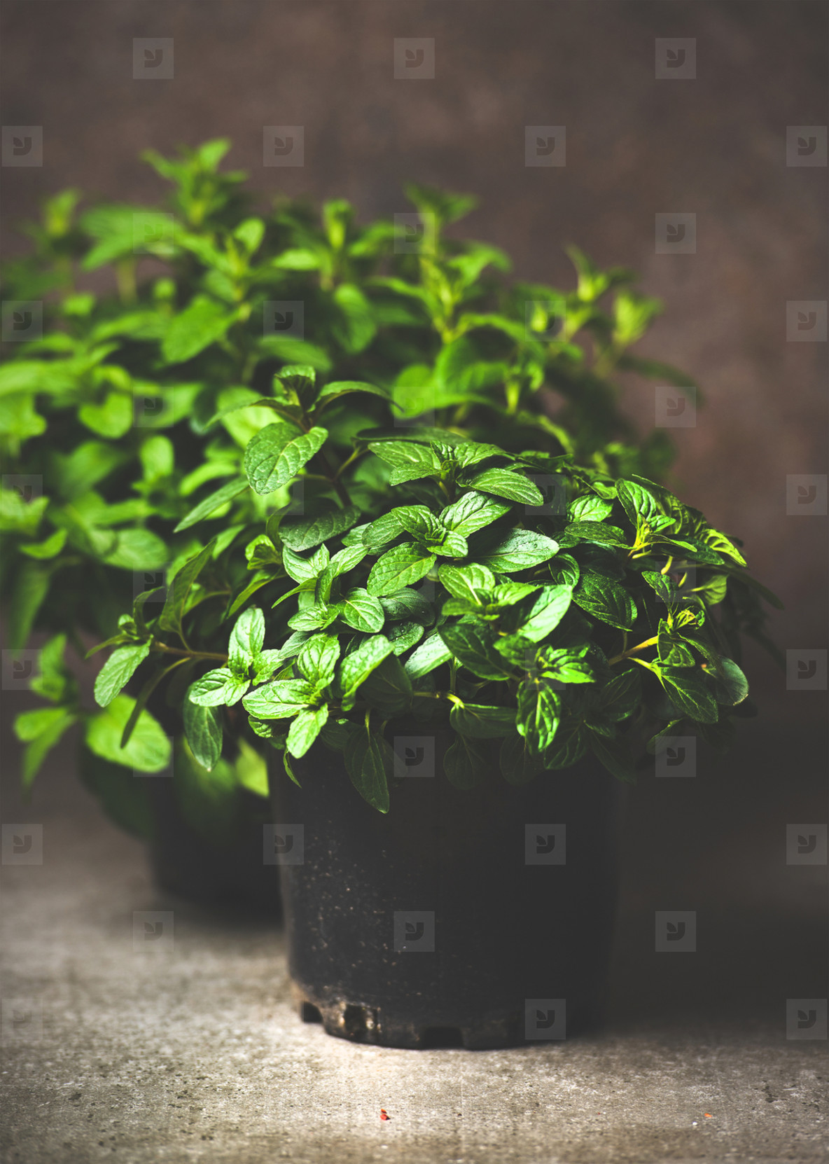 Fresh mint growing in pots at home