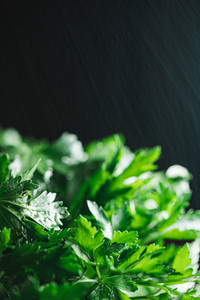 Macro photography  parsley over black background